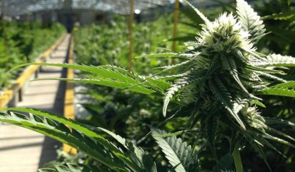 Commercial Growing of Marijuana and Appropriate Licensing