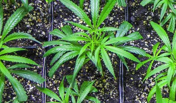 Gorilla Glue #4 Strain Review - I Love Growing Marijuana
