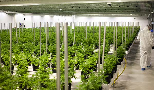 Legally Growing Cannabis in Canada