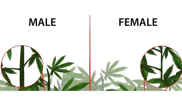 Marijuana can be male or female