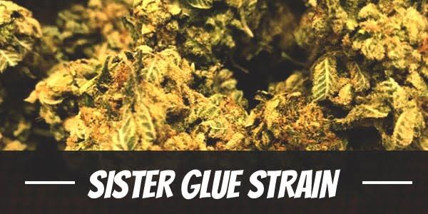 Sister Glue Strain