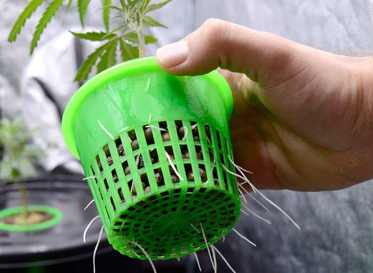 Marijuana-root-problems
