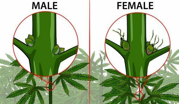 male female autoflower