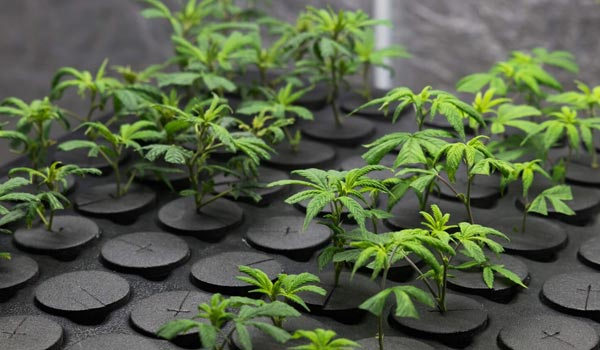 marijuana investing facts growing goals