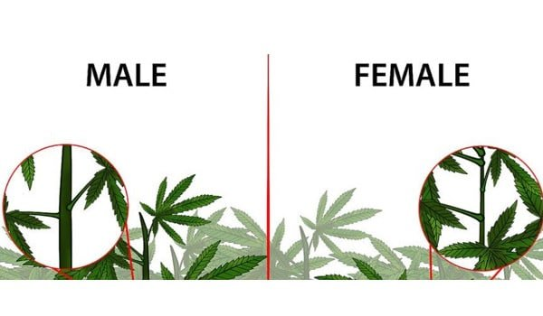 Identifying the sex of your plants