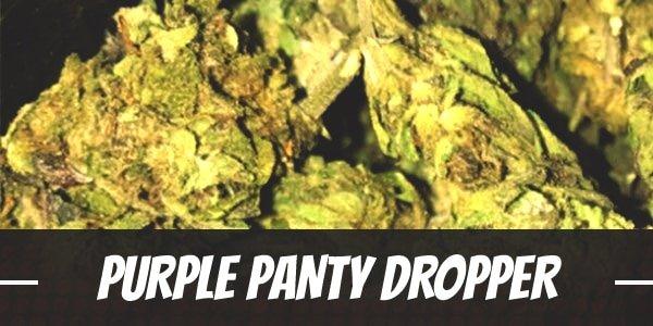 Purple Panty Dropper Strain
