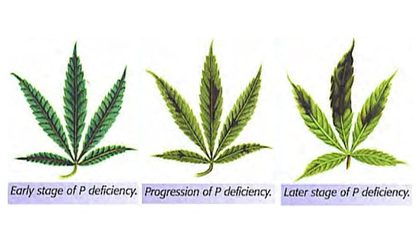 how to fix a phosphorus deficiency marijuana