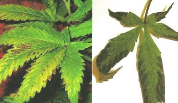 How to Stop Phosphorus Deficiencies In Marijuana Plants - ILGM