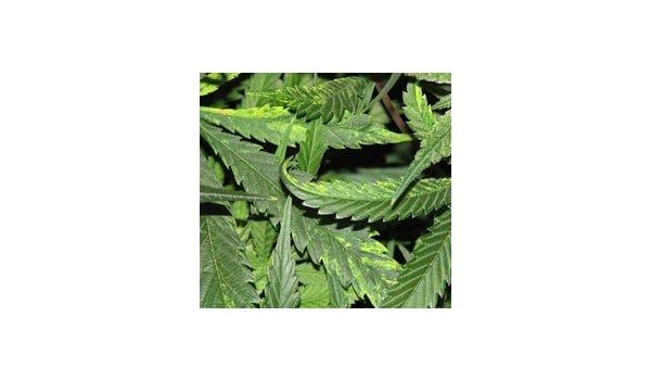 What is the tobacco mosaic virus on marijuana
