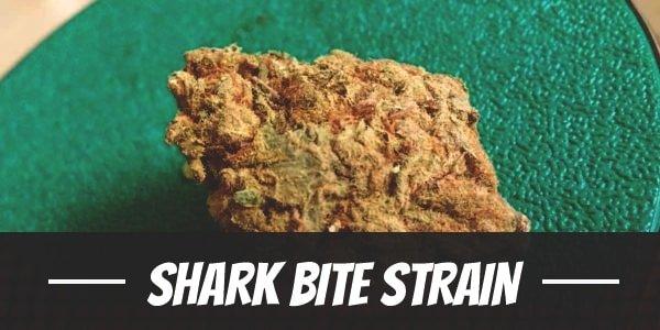 Shark Bite Strain