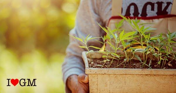 Holding Pots of Marijuana Trees