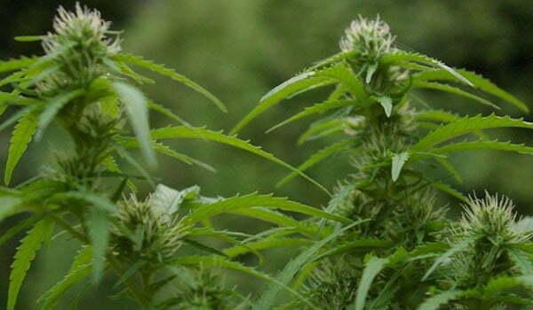short season marijuana strain fast flowering