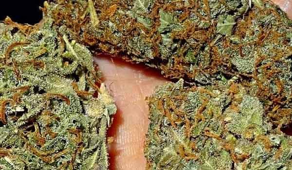 Huckleberry Hound Strain Medical