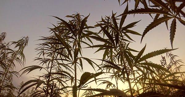 Outdoor Cannabis Plants