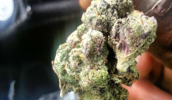 Purple Cheddar Strain Effects