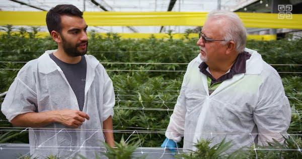 cannabis flowering