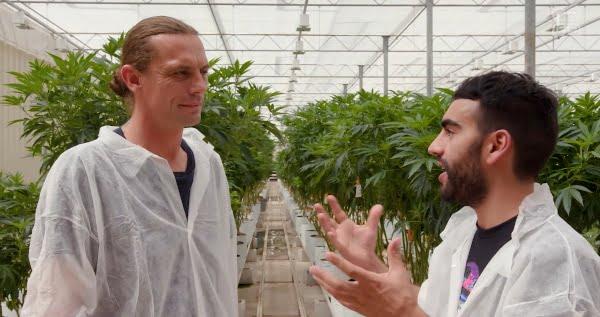 cannabis genetics and propagation