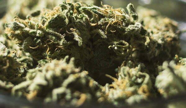 Gupta Haze Strain Review - I Love Growing Marijuana