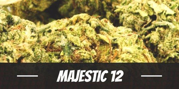 Majestic 12 Strain