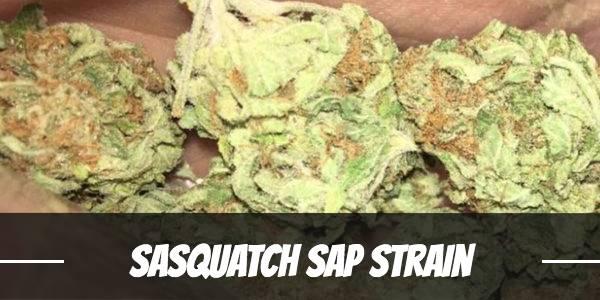 Sasquatch Sap Strain