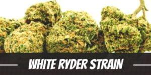 White Ryder Strain