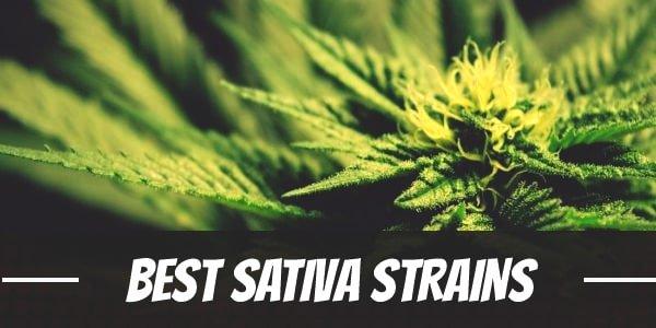 Best Sativa Strains: Our Top Twelve Choices