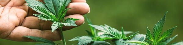 normal thc levels in marijuana