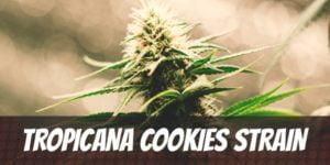Tropicana Cookies Strain
