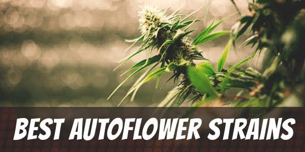 Best Autoflower Strains