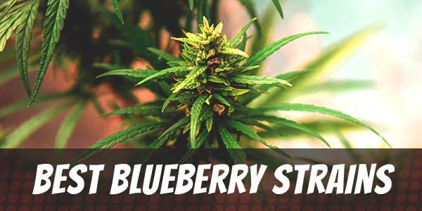 Best Blueberry Strains