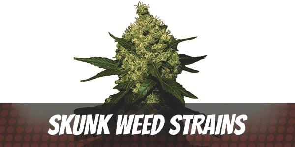 Best Skunk Weed Strains