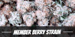 Member Berry Strain