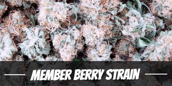 Member Berry Strain Review