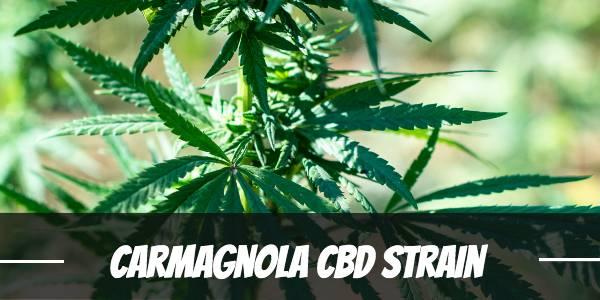 Carmagnola CBD Strain Review