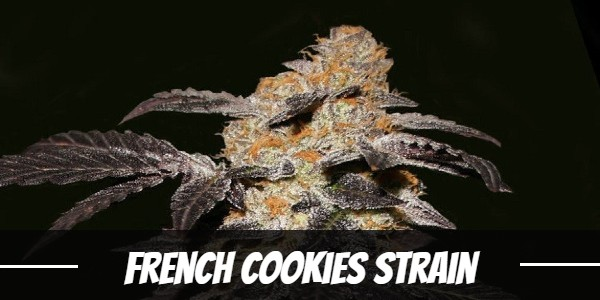 French Cookies Strain