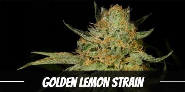 Golden Lemon Strain