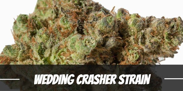 Wedding Crasher Strain