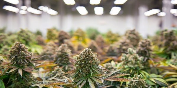 Cannabis ruderalis buds in closeup view growing indoors