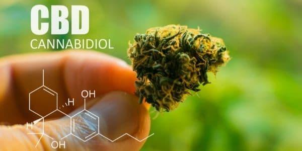 Cannabis ruderalis is high in CBD