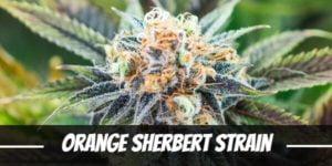 Orange Sherbert Strain