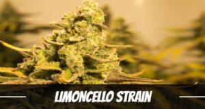 Limoncello Strain