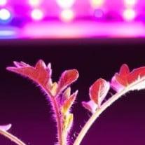 Optimal Lighting for Cannabis Plants