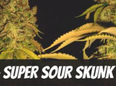 Super Sour Skunk
