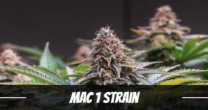 Mac 1 Strain