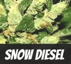 Snow Diesel Strain