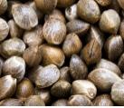 Where to Buy Marijuana Seeds
