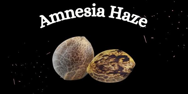 Amnesia Haze Seeds