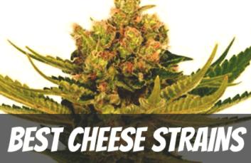 Best Cheese Strains