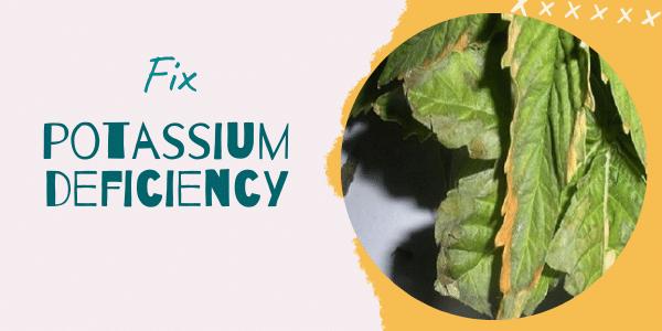Potassium Deficiency in Marijuana