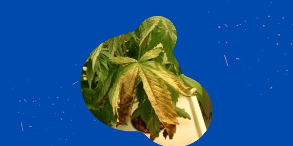 Signs of Potassium Deficiency in Marijuana